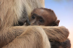 Baby Gray langur (Semnopithecus dussumieri) resting in mothers a Royalty Free Stock Image