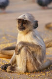 Baby gray langur sitting in Amber Fort near Jaipur, Rajasthan, I. Ndia. Gray langurs are the most widespread langurs of South Asia Royalty Free Stock Photo