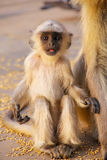 Baby gray langur sitting in Amber Fort near Jaipur, Rajasthan, I. Ndia. Gray langurs are the most widespread langurs of South Asia Stock Photography