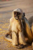 Baby gray langur sitting in Amber Fort near Jaipur, Rajasthan, I Royalty Free Stock Images