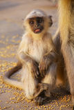 Baby gray langur sitting in Amber Fort near Jaipur, Rajasthan. India. Gray langurs are the most widespread langurs of South Asia Stock Image