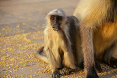 Baby gray langur sitting by mother in Amber Fort, Jaipur, Rajast Royalty Free Stock Images