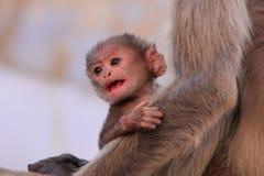 Baby Gray langur sitting with mother, Pushkar, India Stock Photos