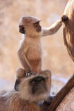 Baby Gray langur sitting with mother, Pushkar, India Royalty Free Stock Photography