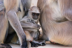 Baby Gray langur sitting with mother, Pushkar, India Stock Image