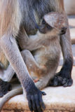 Baby Gray langur sitting with mother, Pushkar, India Stock Images
