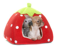 Baby gray parrot and chihuahua Stock Image
