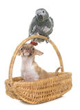 Baby gray parrot and chihuahua Royalty Free Stock Photo