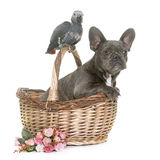 Baby gray parrot and puppy bulldog Royalty Free Stock Images