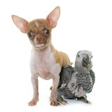 Baby gray parrot and puppy chihuahua Royalty Free Stock Photos