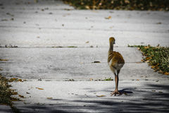 Baby Gray Sandhill Crane Deciding Royalty Free Stock Photo