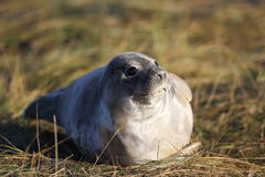 Baby gray seal Royalty Free Stock Photo