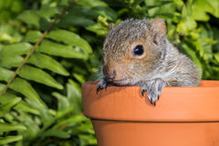 Free Baby Gray Squirrel Royalty Free Stock Images - 55978039
