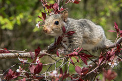 Baby Gray Squirrel. A baby gray squirrel climbing a tree royalty free stock image