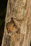 Baby Gray Squirrel. A baby gray squirrel climbing a tree royalty free stock photos