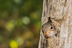Baby Gray Squirrel. A baby gray squirrel climbing a tree royalty free stock photography
