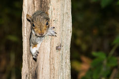 Baby Gray Squirrel. A baby gray squirrel climbing a tree royalty free stock images