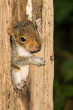 Baby Gray Squirrel. A baby gray squirrel climbing a tree stock photography