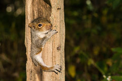 Baby Gray Squirrel. A baby gray squirrel climbing a tree stock image