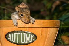 Baby Gray Squirrel. Playing in a basket royalty free stock photography