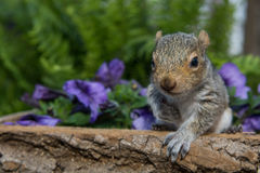 Baby Gray Squirrel. A baby gray squirrel playing in the garden stock photos