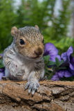 Baby Gray Squirrel. A baby gray squirrel playing in the garden stock images