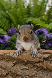 Baby Gray Squirrel. A baby gray squirrel playing in the garden royalty free stock images