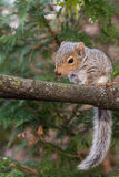 Baby Gray Squirrel. A baby gray squirrel playing in the garden stock photo