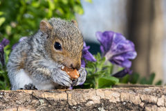 Baby Gray Squirrel. A baby gray squirrel playing in the garden royalty free stock photo