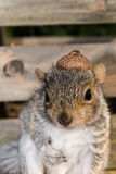 Baby Gray Squirrel. A baby gray squirrel playing in the garden royalty free stock photos