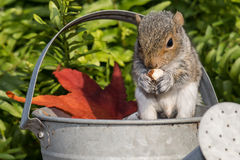 Baby Gray Squirrel. A baby gray squirrel playing in the garden stock image