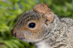 Baby Gray Squirrel. A baby gray squirrel playing in the garden royalty free stock photography