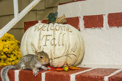 Baby Gray Squirrel. Playing by a pumpkin in Fall stock photo