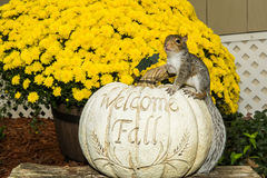 Baby Gray Squirrel. Playing by a pumpkin in Fall royalty free stock image