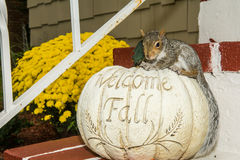 Baby Gray Squirrel. Playing by a pumpkin in Fall royalty free stock photos