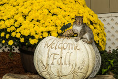 Baby Gray Squirrel. Playing by a pumpkin in Fall stock photos