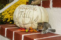 Baby Gray Squirrel. Playing by a pumpkin in Fall stock photography