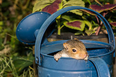 Baby Gray Squirrel. A baby gray squirrel playing in a watering can stock photo