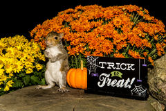 Baby Gray Squirrel. Trick or treating stock photo