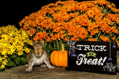 Baby Gray Squirrel. Trick or treating royalty free stock photography