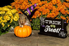 Baby Gray Squirrel. Trick or treating royalty free stock photos