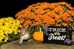 Baby Gray Squirrel. Trick or treating royalty free stock images