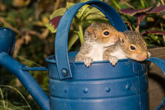 Baby Gray Squirrels royalty free stock photo
