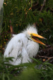 Baby Great Egret (Ardea alba) Royalty Free Stock Photography