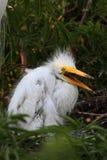 Baby Great Egret (Ardea alba) Royalty Free Stock Photography
