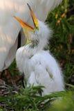 Baby Great Egret (Ardea alba) Stock Images