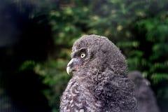Baby great grey owl Stock Image