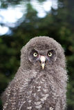 Baby great grey owl Stock Image