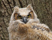 Baby Great Hormed Owl Stock Images