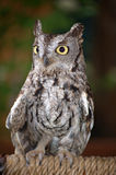 Baby Great Horned Owl Stock Image